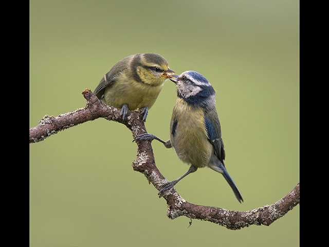 11_Blue-tit-feeding-fledgling.jpg