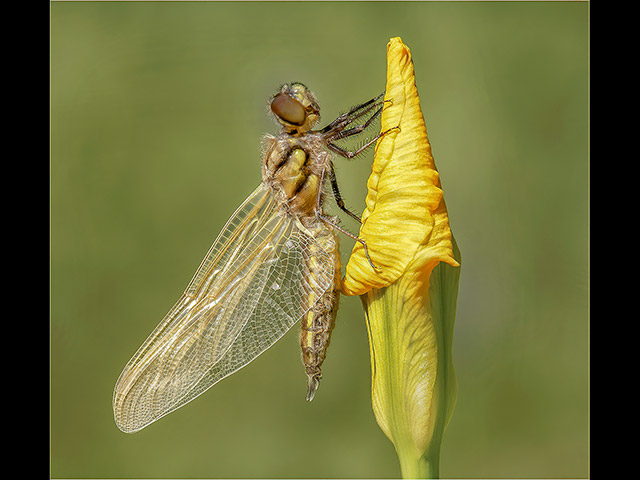 14_Newly-Emerged-Four-Spotted-Chaser.jpg
