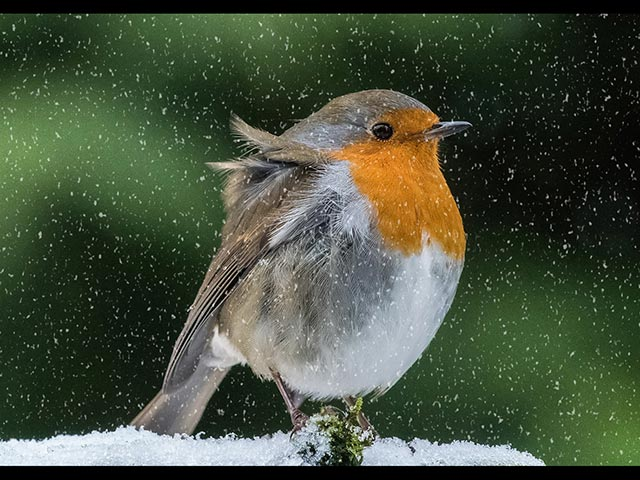 4_Winter-Robin.jpg