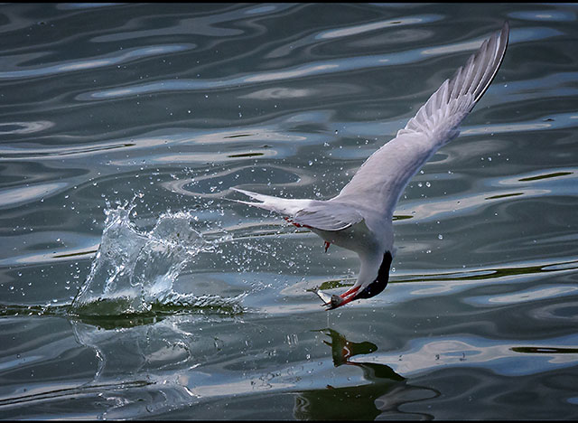 Common-Tern-with-fish.jpg